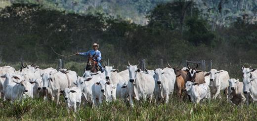 Hombre arreando vacas